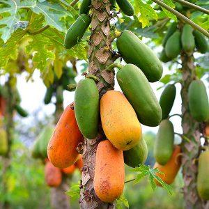 Conclusión ¿por qué la Papaya es tan saludable